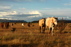 Caballos en la pradera Imagen de archivo libre de regalías