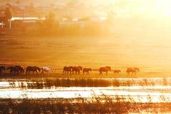 Caballos en la puesta del sol. Foto de archivo