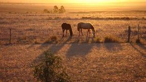 Caballos en la puesta del sol en campo. Foto de archivo libre de regalías