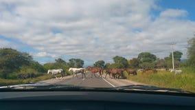 Caballos en la ruta a Cafayate, Salta - Argentina stock photography
