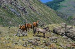 Caballos en las montañas Foto de archivo libre de regalías