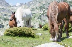 Caballos en las montañas hermosas Foto de archivo