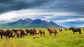 Caballos en las montañas, Islandia Imagenes de archivo