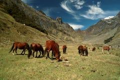 Caballos en los Andes Foto de archivo libre de regalías