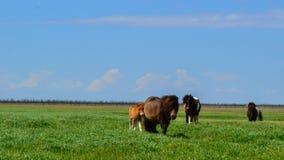 Caballos en los caballos de steppe Fotos de archivo libres de regalías