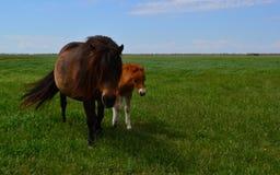 Caballos en los caballos de steppe Fotos de archivo
