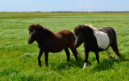 Caballos en los caballos de steppe Imágenes de archivo libres de regalías