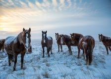 Caballos en los caballos de steppe Foto de archivo libre de regalías