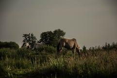 Caballos en los campos Fotografía de archivo