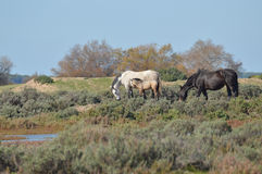 Caballos en los pantanos Imagen de archivo