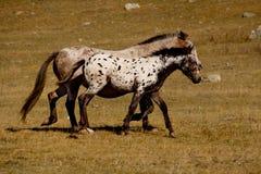 Caballos en los prados libres de las montañas de Altai fotos de archivo libres de regalías