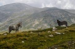 Caballos en naturaleza Fotos de archivo libres de regalías
