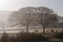 Caballos en niebla de la mañana foto de archivo