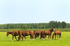 Caballos en prados verdes Imágenes de archivo libres de regalías