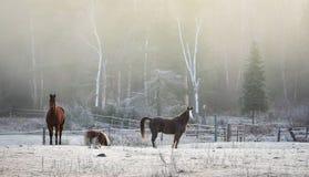 Caballos en su corral en una mañana escarchada de noviembre Fotografía de archivo libre de regalías