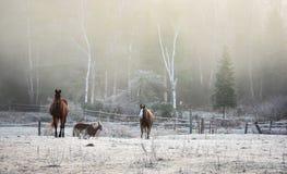 Caballos en su corral en una mañana escarchada de noviembre Fotos de archivo libres de regalías
