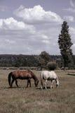 Caballos en un campo Foto de archivo libre de regalías