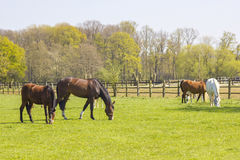 Caballos en un pasto de la primavera Foto de archivo