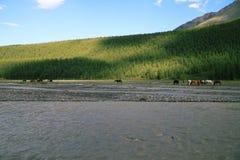 Caballos en un pasto en montañas Imagenes de archivo