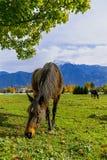 Caballos en un rancho en Columbia Británica, Canadá imagen de archivo libre de regalías