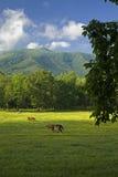 Caballos, ensenada de Cades, gran parque nacional ahumado de Mtns, TN Fotografía de archivo libre de regalías