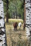Caballos entre árboles de abedul Foto de archivo libre de regalías