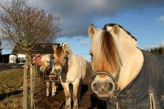 Caballos escandinavos Fotografía de archivo libre de regalías