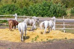 Caballos excelentes hermosos que caminan y que pastan en el corral de la granja Paisaje rural idílico Imagen de archivo