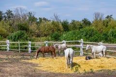 Caballos excelentes hermosos que caminan y que pastan en el corral de la granja Paisaje rural idílico Foto de archivo libre de regalías