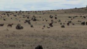Caballos funcionados con a través de la pradera almacen de video