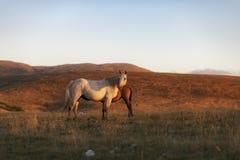 Caballos grandes y pequeños en la montaña, la yegua y el potro Fotografía de archivo
