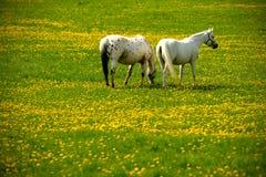 caballos grises en prado de la flor Imagen de archivo