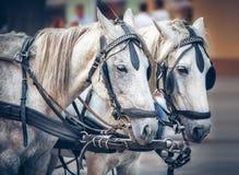 Caballos grises que tiran de un equipo aprovechado del caballo Fotos de archivo
