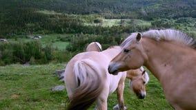 Caballos hermosos del fiordo que pastan en hierba verde en pasto de la ladera en Noruega almacen de video