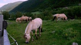 Caballos hermosos del fiordo que pastan en hierba verde en pasto de la ladera almacen de video