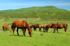 Caballos hermosos en pasto verde de la montaña Imágenes de archivo libres de regalías