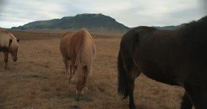 Caballos hermosos que pastan sobre las montañas en Islandia metrajes