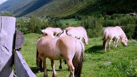 Caballos hermosos semental y yegua del fiordo en pasto de la ladera almacen de metraje de vídeo