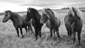 Caballos islandeses Imagen de archivo libre de regalías