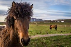 Caballos islandeses adentro cerca de Husavik Imagenes de archivo