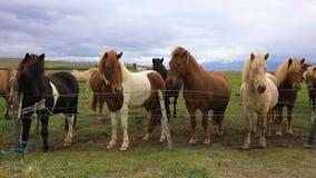 Caballos islandeses criados en línea pura en el prado almacen de video