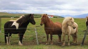 Caballos islandeses en el prado almacen de video
