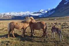 Caballos islandeses en Islandia meridional Imagenes de archivo