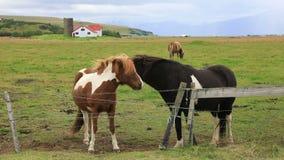 Caballos islandeses hermosos en el prado almacen de metraje de vídeo