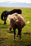 Caballos islandeses locos fotos de archivo