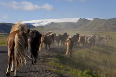Caballos islandeses que se ejecutan abajo de un camino en campos Fotos de archivo