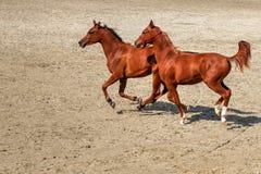 Caballos jovenes que corren libremente en la arena Fotografía de archivo