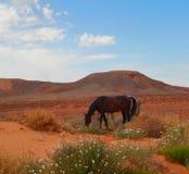 Caballos majestuosos que pastan en el desierto foto de archivo