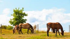 Caballos marrones agraciados majestuosos en prado Foto de archivo libre de regalías