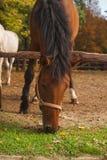 caballos marrones jovenes en el pasto Imagen de archivo